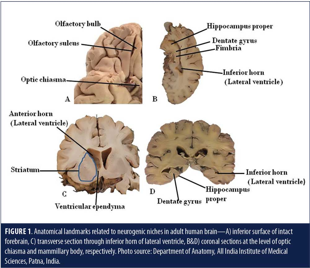 Adult Neurogenesis in Humans: A Review of Basic Concepts
