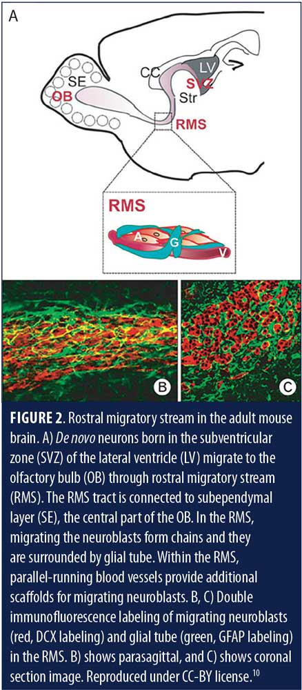 Adult Neurogenesis in Humans: A Review of Basic Concepts, History